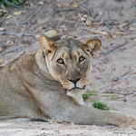 Desert-adapted African Lion near Hoanib Riverbed in Namibia