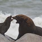 Cape Fur Seals on Hoanib Skeleton Coast in Namibia