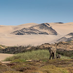 Desert-adapted African Elephants in Namibia have adapted to their dry, semi-desert environment by having a smaller body mass with proportionally longer legs and seemingly larger feet than ot ...