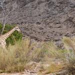 Desert Adapted Giraffe Hoanib Skeleton Coast in Namibia, Africa.