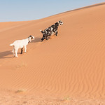 goats near Serra Cafema Camp in Namibia