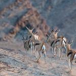 Springbok in Hoanib Riverbed in Namibia