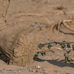 African Elephant - Namibia variation - desert adapted